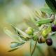 Olive della Tenuta la Massa